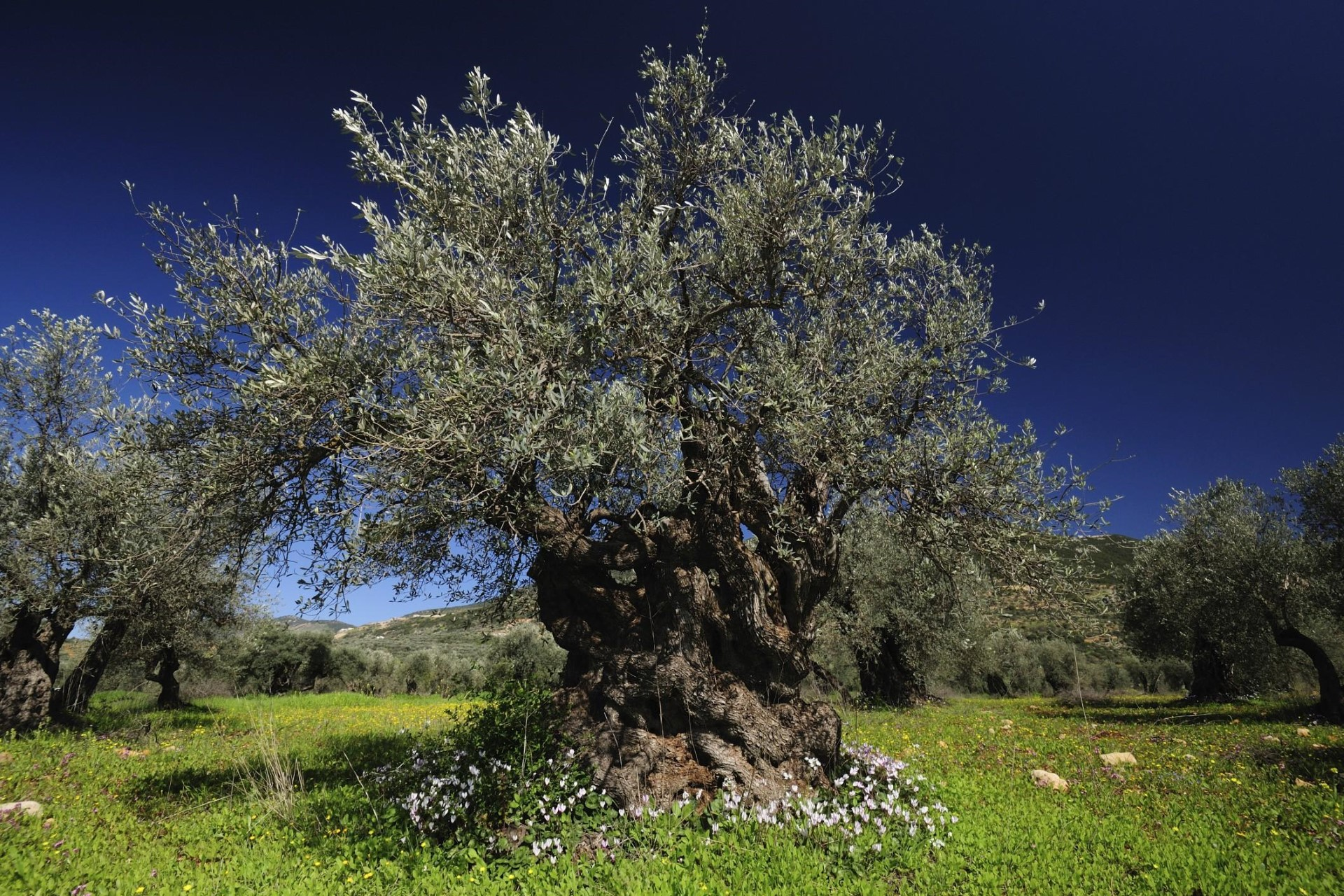 ulivo-liguria-garden (Custom)